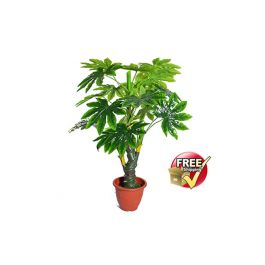 "Chinese Evergreen (10"" Pot) - Shelmerdine Garden Center |Wholesale Silk Plants Chinese Evergreen House"